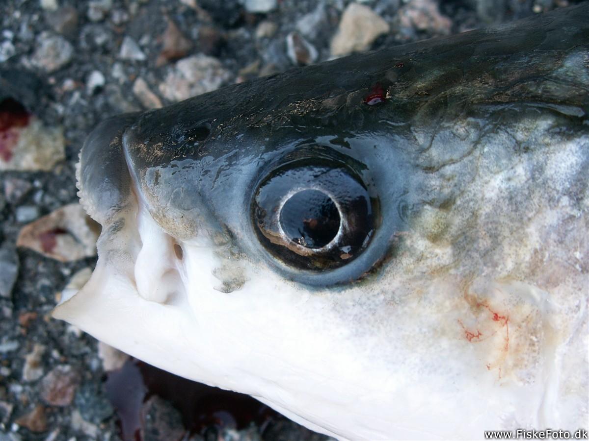 Fisk krog op hjemmeside