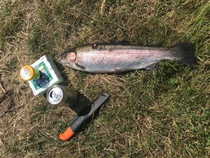 Regnbueørred (Oncorhynchus mykiss) - Fanget d. 27. juli 2019. dambrug, put and take, flue, regnorm, powerbait