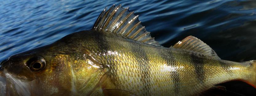 fisk i kattegat
