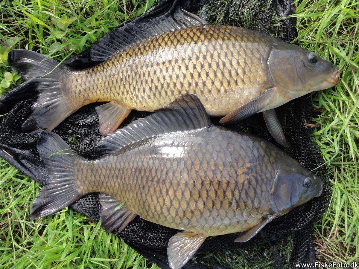 fec36efebdfccd Skælkarpe (Cyprinus carpio) Fanget ved medefiskeri. Øverst skælkarpe og  nederst en formodet hybrid